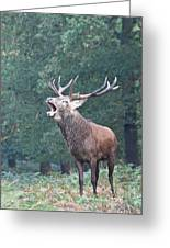 Bellowing Red Deer Stag Greeting Card