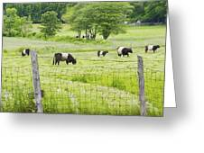 Belted Galloway Cows On  Farm Rockport Maine Photo Greeting Card by Keith Webber Jr