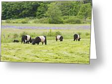 Belted Galloway Cows Pasture Rockport Maine Photograph Greeting Card