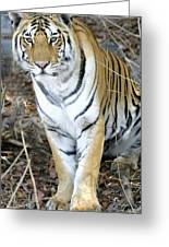 Bengal Tiger In Pench National Park Greeting Card