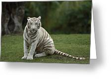 Bengal Tiger Panthera Tigris Tigris Greeting Card