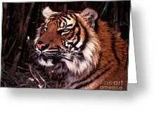 Bengal Tiger Watching Prey Greeting Card
