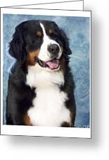 Bernese Mountain Dog 194 Greeting Card