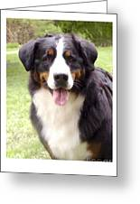 Bernese Mountain Dog 399 Greeting Card