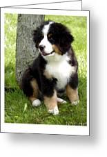 Bernese Mountain Dog 465 Greeting Card