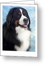 Bernese Mountain Dog 537 Greeting Card