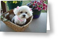 Bichon In A Basket Greeting Card