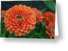 Big Bold Zinnia Flower Greeting Card