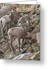 Big Horn Lambs Greeting Card