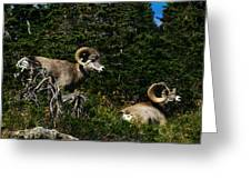 Big Horn Sheep Glacier National Park Greeting Card