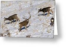 Big Mule Deer Buck Greeting Card