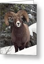 Bighorn Sheep, Maligne Canyon, Jasper Greeting Card