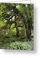 Bigleaf Maple Acer Macrophyllum Greeting Card