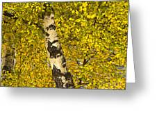 Birch Forest In Finland Greeting Card