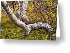 Birch Trees In Autumn Foliage Greeting Card