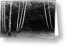 Birches In Black And White Greeting Card