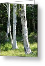 Birches On A Meadow Greeting Card