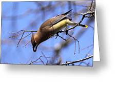 Bird - Cedar Waxwing - One At A Time Greeting Card