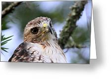 Bird - Red-tailed Hawk - Bashful Greeting Card