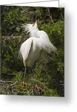 Bird Mating Display - Snowy Egret  Greeting Card