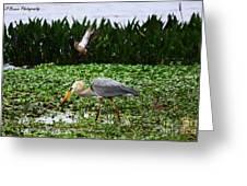 Birding Action At Circle B Bar Reserve Greeting Card