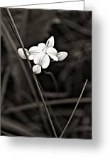 Bird's-foot Trefoil Monochrome Greeting Card
