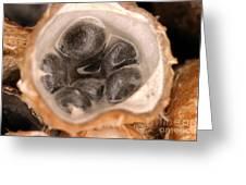 Birds Nest Fungus Greeting Card