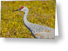 Birds Of Bc - No. 35 - Young Sand Hill Crane Greeting Card