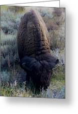 Bison At Ease Greeting Card