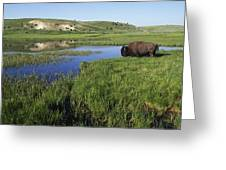 Bison At Edge Of Pool, Hayden Valley Greeting Card