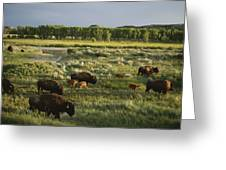 Bison Graze On Grasslands In The Park Greeting Card