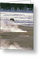 Bison Grazing Near Hot Springs Greeting Card by Gordon Wiltsie