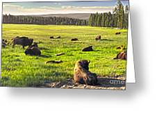 Bison Herd In Yellowstone Greeting Card
