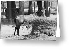 Black And White Hay Horse Greeting Card