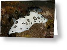 Black And White Spotted Budibranch Greeting Card