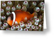 Black Anemonefish, Fiji Greeting Card