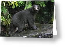 Black Bear Neets Bay Alaska Greeting Card