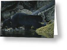 Black Bear With Her Young Cub Tagging Greeting Card
