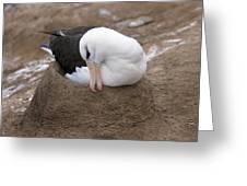 Black-browed Albatross Nesting Greeting Card