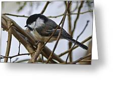 Black Capped Chick Greeting Card