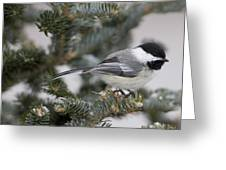 Black-capped Chickadee, Poecile Greeting Card