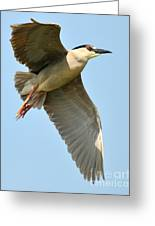 Black Crown Night Heron Greeting Card