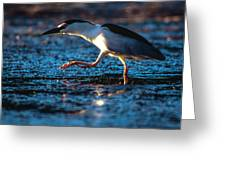 Black-crowned Night Heron Greeting Card