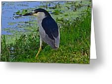 Black Crowned Night Heron II Greeting Card