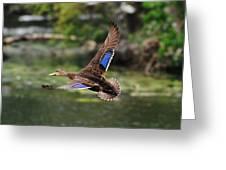 Black Duck Greeting Card