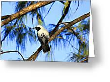 Black Faced Cuckoo Shrike V3 Greeting Card