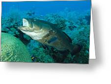 Black Grouper Greeting Card