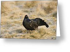 Black Grouse Displaying On A Lek Greeting Card