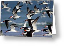 Black Skimmers Flock Greeting Card by Clarence Holmes