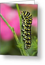 Black Swallowtail Caterpillar On Garden Greeting Card